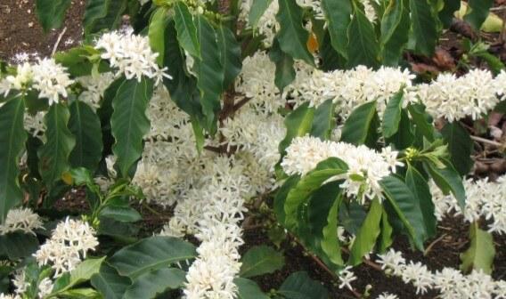 fleurs de caféier